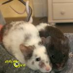 Comment des souris mâles peuvent-elles vivre ensemble ?