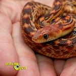 Santé : le stress chez les serpents (causes, symptômes, prévention)