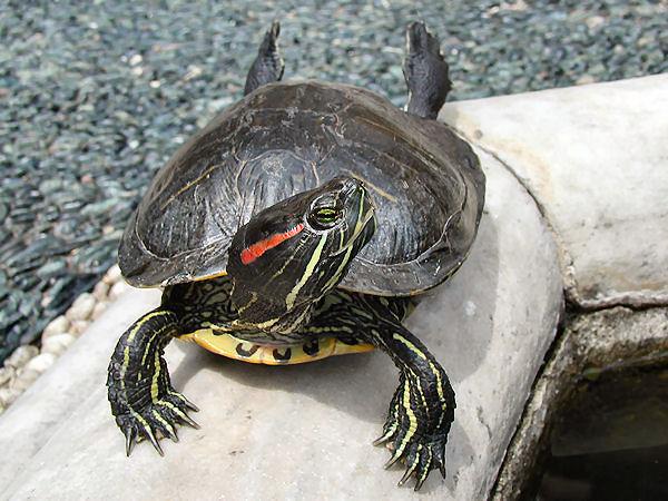 La tortue de floride ou trachemys scripta alimentation - Bassin tortue floride strasbourg ...