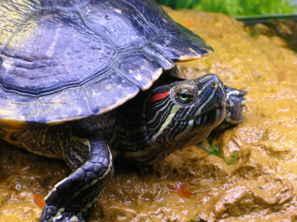 La tortue de Floride, ou Trachemys scripta (alimentation, maintenance, reproduction)
