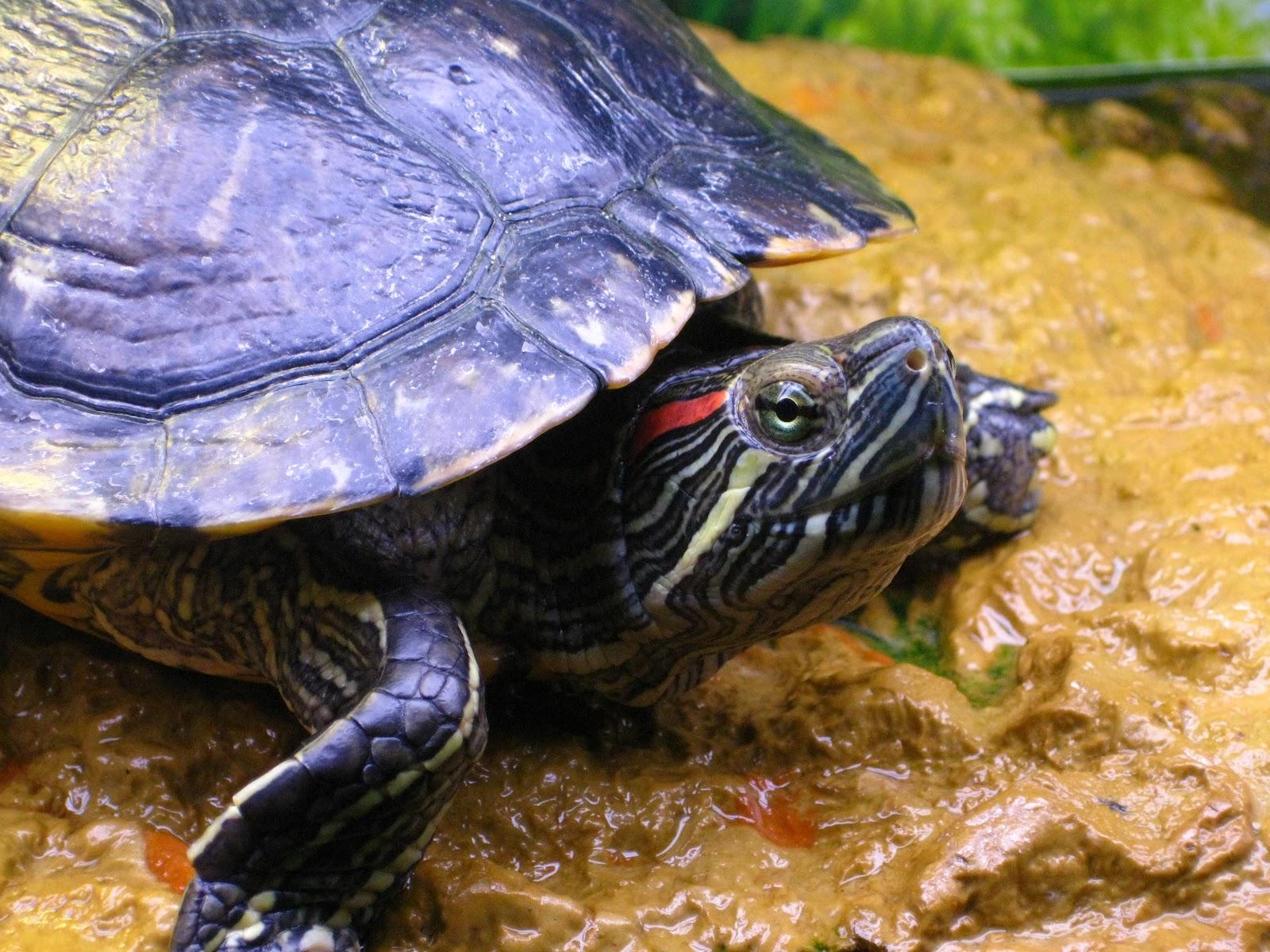 alimentation pour tortue de floride