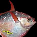 L'Opah, ou la découverte du premier poisson à sang chaud