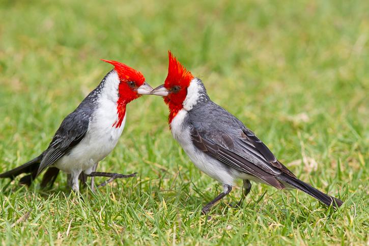 Le Paroare huppé, ou Cardinal à huppe rouge (Paroaria coronata)