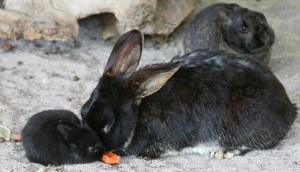 Comment influencer les préférences alimentaires de nos lapins de compagnie ?
