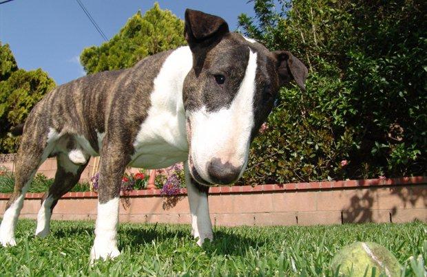Le bull terrier, un enfant en costume de chien