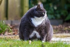 Alimentation et santé : l'obésité chez le chat