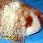 Cochon d'Inde ou cobaye: leTexel