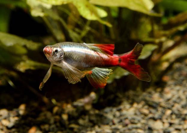 Aquarium communautaire quels poissons peuvent cohabiter for Bac communautaire poisson rouge