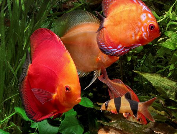 Aquarium communautaire : quels poissons peuvent cohabiter avec des Discus ?