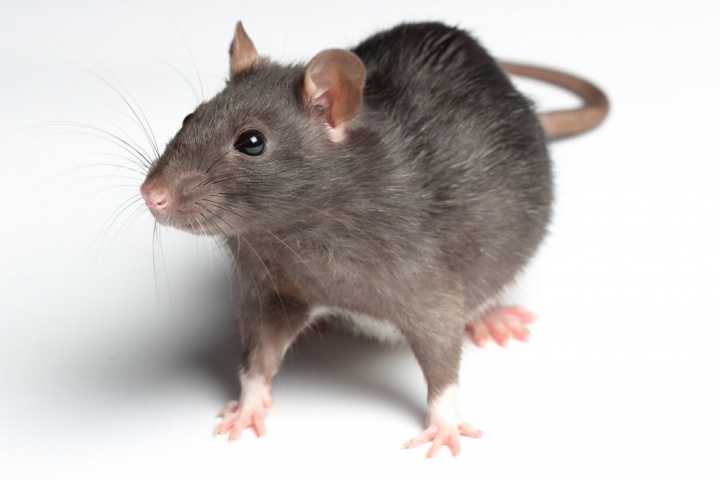 Les comportements pouvant être confondus avec des problèmes de santé chez le rat