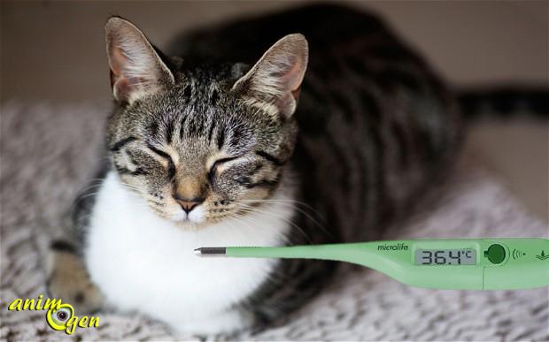 Santé : comment savoir si un chat a de la fièvre ?