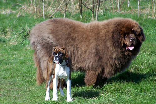 La race des géants : 5 chiens de compagnie pour voir la vie en XXL