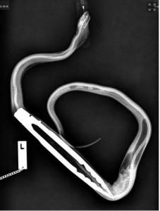 Santé : de la balle de golf à la pince pour barbecue, les repas les plus improbables de nos serpents