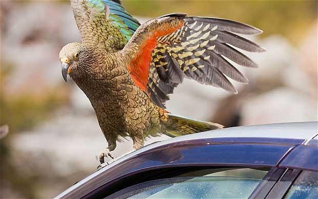 Le Nestor kéa, ou Nestor notabilis, un perroquet de haut vol