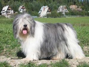 Le Nizinny, ou berger polonais de plaine