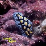 Coraux : comment éliminer les nudibranches ?