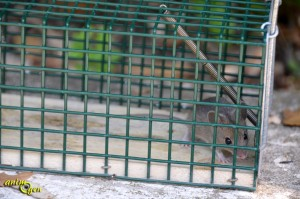 Eliminez les rongeurs sans les tuer : piège pour rats (test, avis, prix)