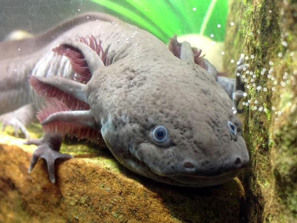 Reproduction : la maturité sexuelle chez l'Axolotl (quand, pourquoi ? )