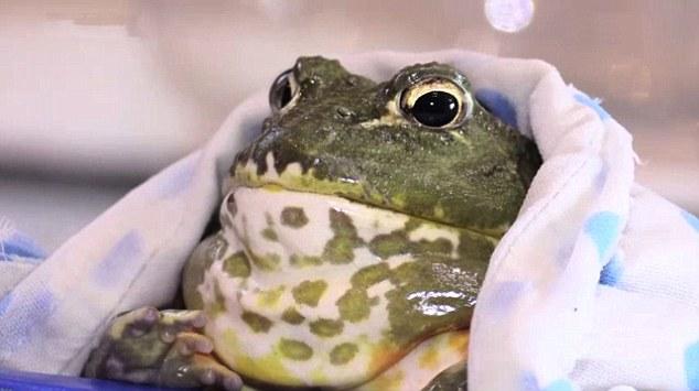 Santé : quelles précautions prendre lors de l'achat d'une grenouille ?