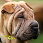 Le Shar pei, un chien chinois plissé à la peau de sable