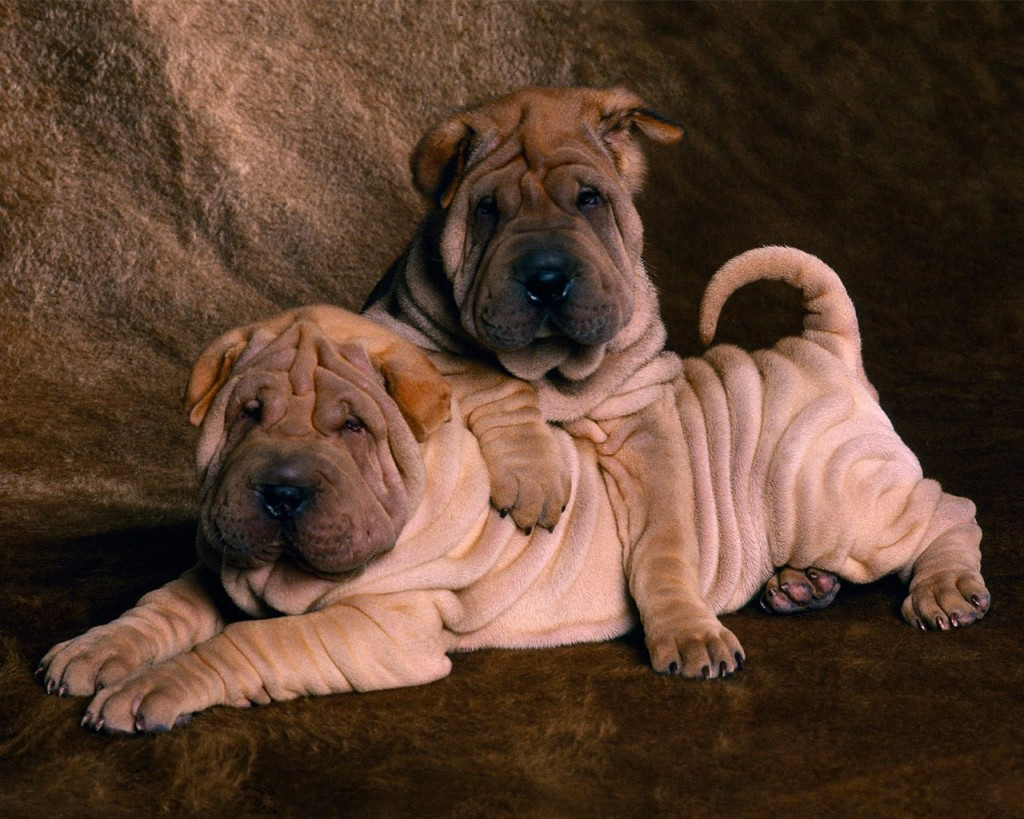 le shar pei un chien chinois pliss la peau de sable animogen. Black Bedroom Furniture Sets. Home Design Ideas