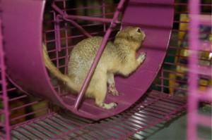 Le spermophile, ou écureuil de Richardson (Spermophilus richardsonii)