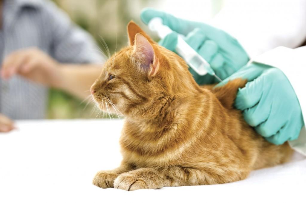 Santé : la vaccination du chat (utilité, âge, rappel, fréquence)
