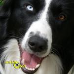 Le Border Collie, un chien à ne pas adopter à la lègère