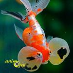 Bubble eye goldfish, ou Carassius auratus (origine, maintenance, caractéristiques)