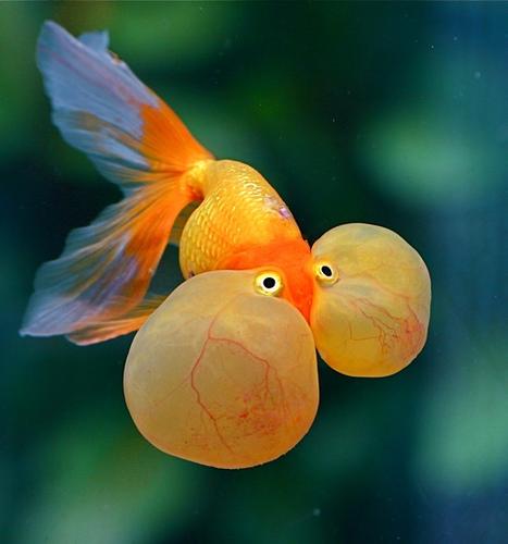 que suis je  N° 2 -  ajonc - 26 août Bravo Martine Bubble-eye-goldfish-Carassius-auratus-origine-maintenance-caract%C3%A9ristiques-aquarium-reproduction-esp%C3%A8ce-eau-douce-poisson-animal-animaux-compagnie-animogen-1
