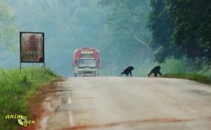 La préservation des grands singes, au coeur des préoccupations du MNHN