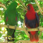 Reproduction : le déroulement de l'accouplement chez les perroquets
