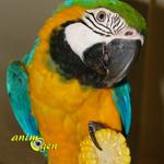 Le maïs en épi, un régal pour nos perroquets