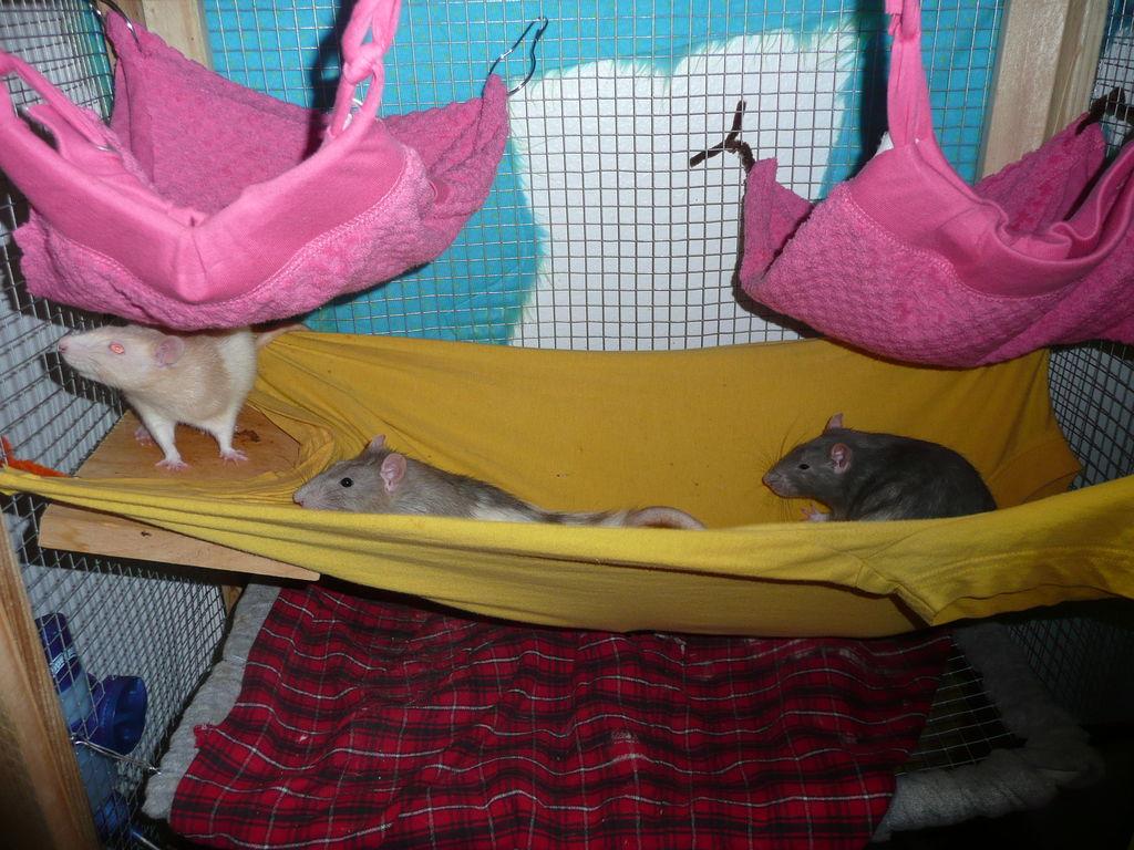 Comment envisager l'aménagement de la cage de nos rats de compagnie ?