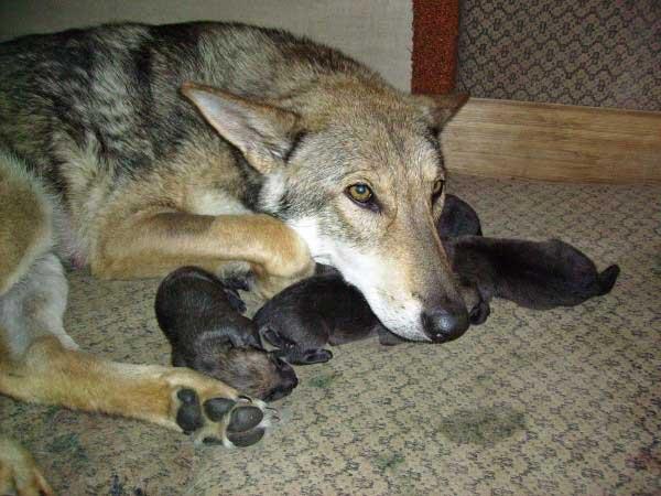 Le chien-loup de Saarloos, un compagnon entre chien et loup