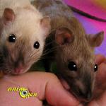 Le rat est-il l'animal de compagnie idéal ?
