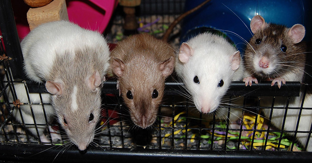 le rat est il l animal de compagnie id al animogen. Black Bedroom Furniture Sets. Home Design Ideas