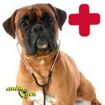 Santé : l'hépatite canine infectieuse, ou hépatite de Rubarth (causes, symptômes, traitement, prévention)