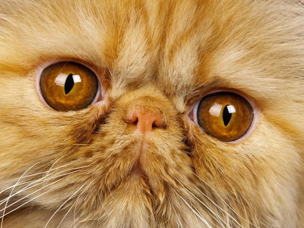 L'élevage de races de chats déformées est-il contraire à l'éthique ?
