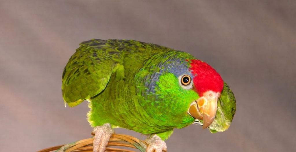 Le comportement agressif des perroquets de compagnie