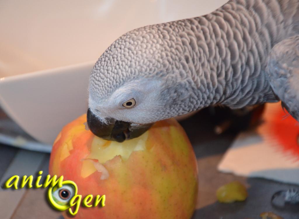 Alimentation : quelle variété de pomme nos perroquets préfèrent-ils ?