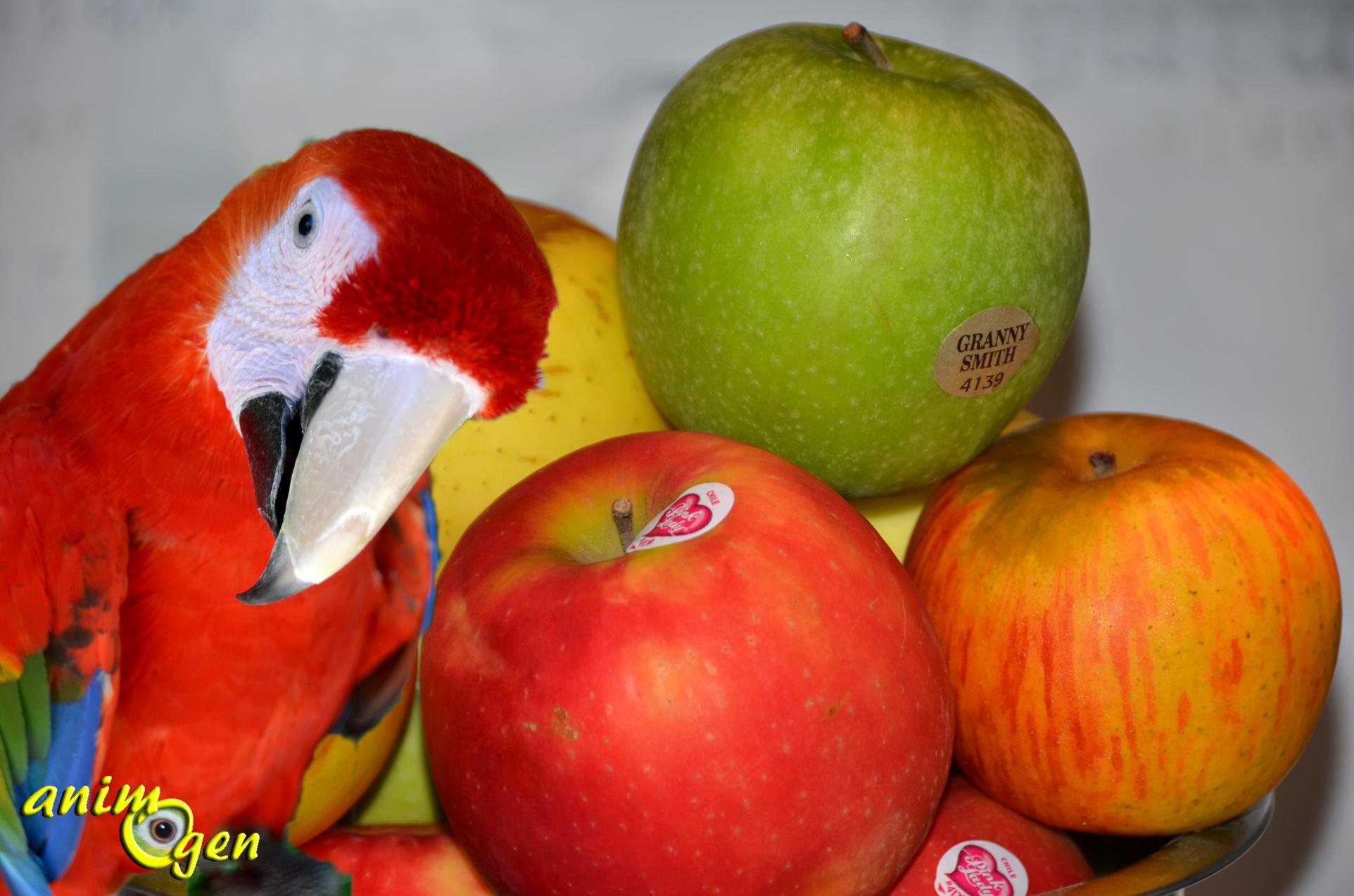 Alimentation quelle vari t de pomme nos perroquets pr f rent ils animogen - Ou trouver des caisses u00e0 pommes ...