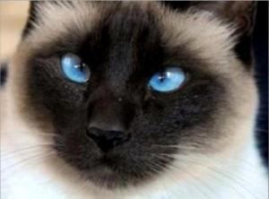 """Santé : le strabisme chez les chats est-il """"louche"""" ?"""