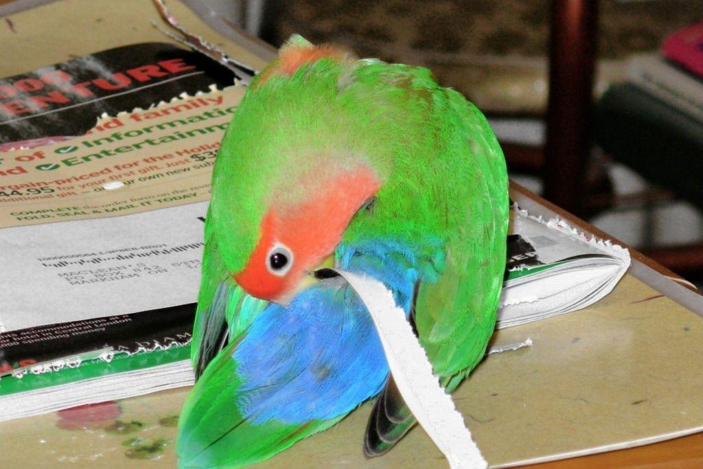 Comportement : pourquoi les inséparables logent-ils papier ou brindilles sous leurs plumes ?