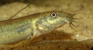 La loche, une précieuse alliée de nos aquariums d'eau douce