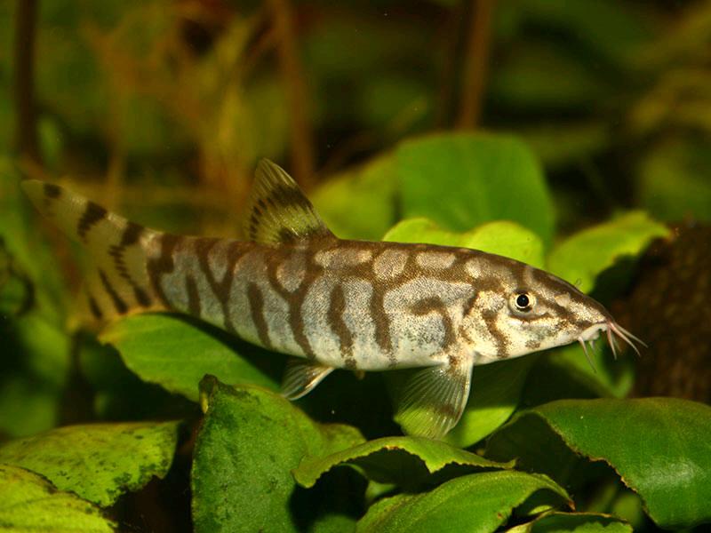 loche-cobitidae-poisson-espèce-variété-bac-aquarium-eau-douce-tropical-animal-animaux-compagnie-animogen-2