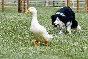 Comportement : la relation avec leur maître nuit-elle aux facultés de nos chiens ?