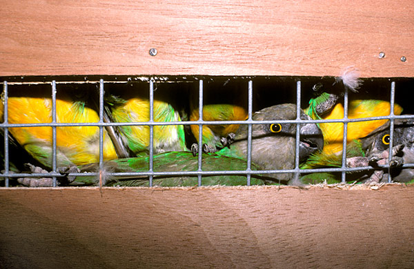 Un trafic international de perroquets démantelé à Dakar