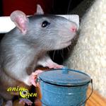 Comportement : le rôle du marquage urinaire chez le rat