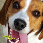 Le Beagle (origines, caractère, éducation)